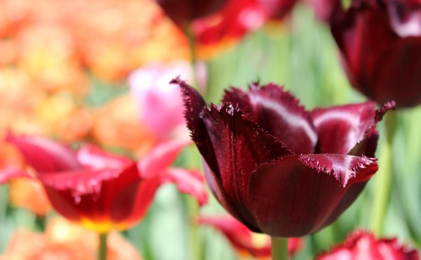 Canadian Tulip Festival Instameet! InstagrammersUnite!