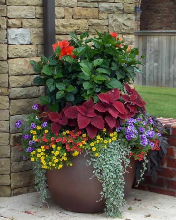 Container gardening coleus hibiscus petunias style domination